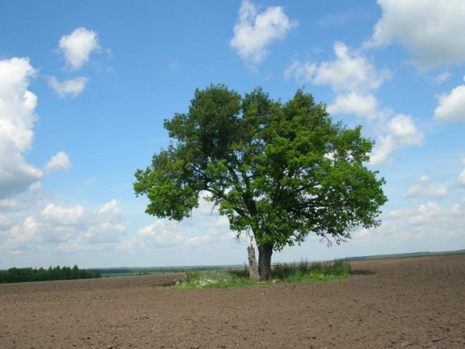 Сторожевой дуб. Фото