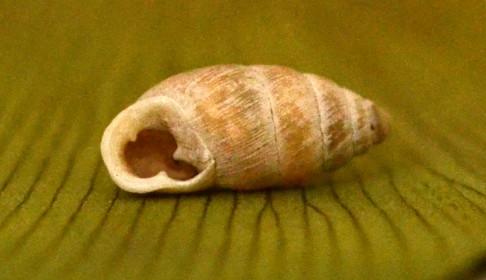 36 - Моллюск хондруля трёхзубая